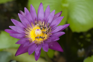 Purple water lily with honey bee.