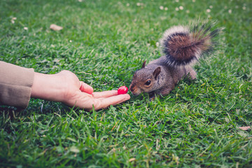 Hand feeding a squirrel