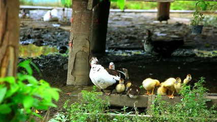 Duck and ducklings wash their wings near the pond. Video
