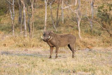 Common warthog, (Phacochoerus africanus)