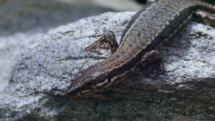 detail view of a lizard on granite stone