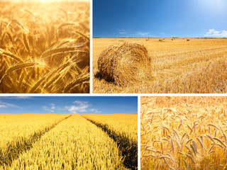 Agricultural collage composed of wheat fields