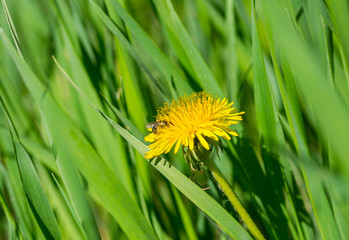 Spring idyll in nature - Dandelion in fresh grass