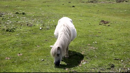 Small white pony eating grass