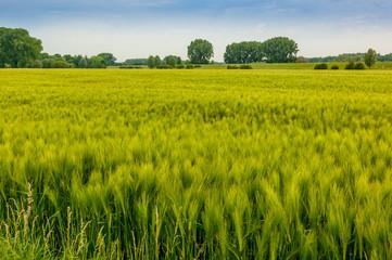 Zons - Getreidefelder