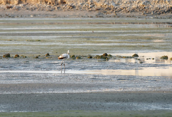 A beautiful juvenile flamingo feeding during low tide
