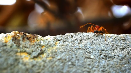 Red ants get their food larva, midge, bug. Macro video