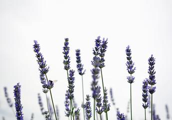 lavender field detail copyspace