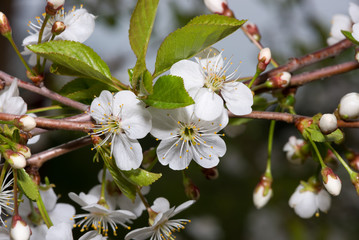 blooming cherry branch in the garden