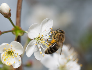 bee collects nectar on the flowers of cherry