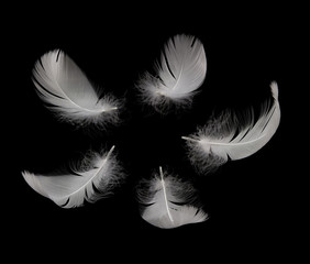 five white swan feathers on the black background