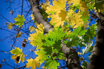 golden autumn: yellow and green bright maple leaves