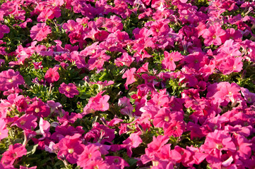 Petunia flowers background