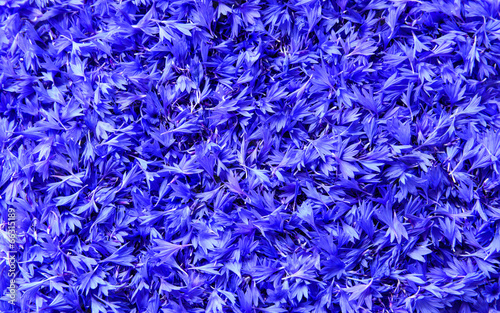 flakes of blue cornflowers background, texture