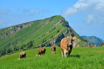 Kühe, Berge