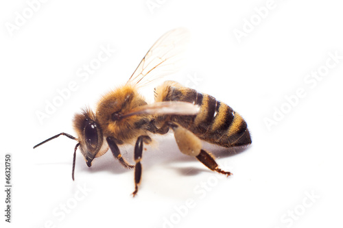 Foto op Aluminium Bee bee on white