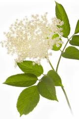 Holunderblüten auf weißem Hintergrund