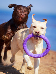 two  labrador retriever dog