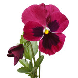 red beautiful flower pansy with a bud isolated