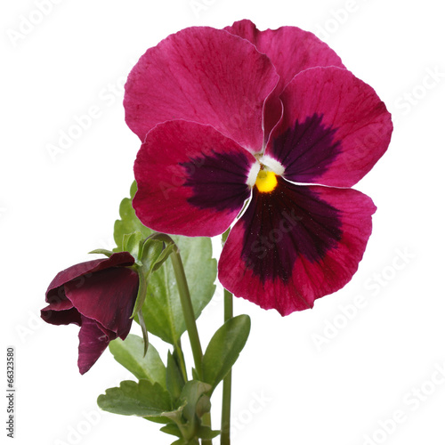 Tuinposter Pansies red beautiful flower pansy with a bud isolated