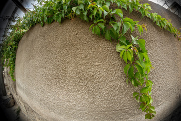 Vine on the wall