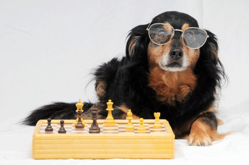 Smart Dog Playing Chess