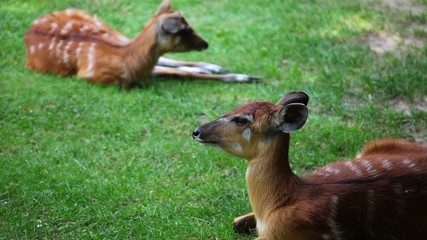 Two young Antelope Sitatunga relaxing on the pasture