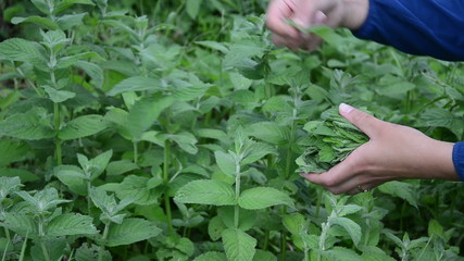 herbalist girl hand pick mint herb plant leaves in rural garden
