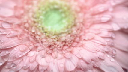 Downpour falling on a pink gerbera. Macro.