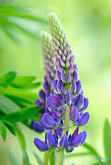 Blue lupine flower