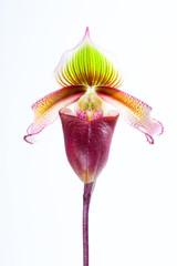 Paphiopedilum superbiens (Rchb. f.)