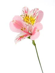 Rosy flower  isolated on white background. Alstroemeria
