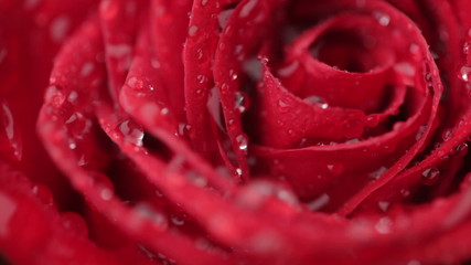 Water drop falling on red rose.