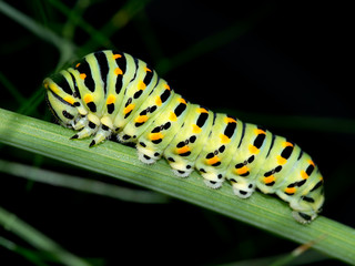 Caterpillar macro. Black Swallowtail, Papilio polyxenes