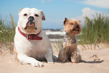 bulldog and yorkshire terrier