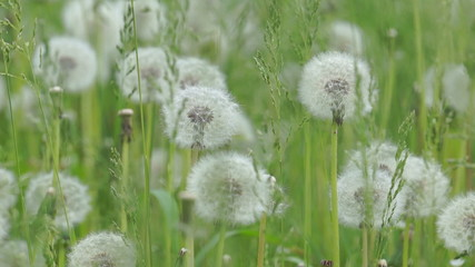 White dandelions swayed slightly in the wind.