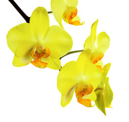 Branch of blooming beautiful yellow phalaenopsis is isolated on
