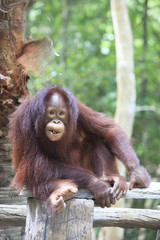 indonesia orangutan with nature