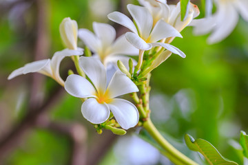 white and yellow tropical flowers Frangipani with leaves