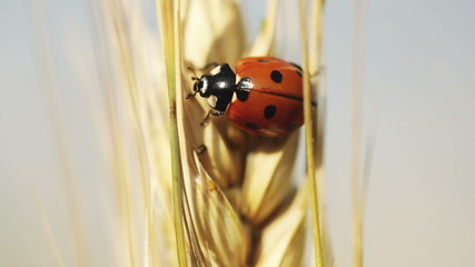 Ladybug on wheat
