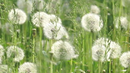 Dandelions in the wind.