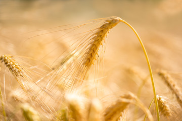 Golden wheat ear