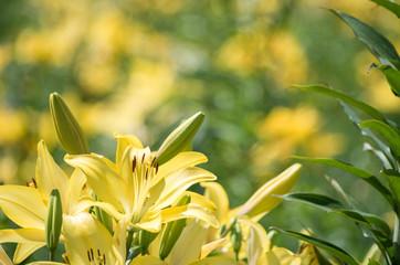 ユリの花畑