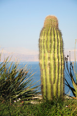 Big cactus on the dead sea shore. Israel.