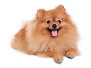 pomeranian dog cute pet