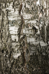 Bark of a birch