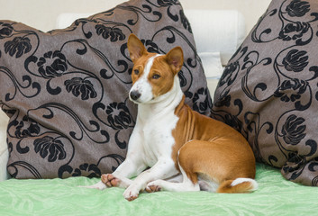Sleepy Basenji dog being resting on the sofa