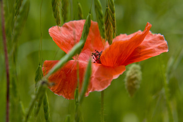 nature, red poppy in field