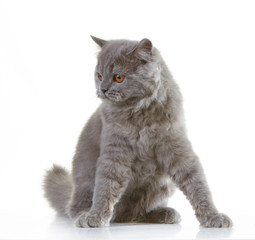 gray british long hair kitten