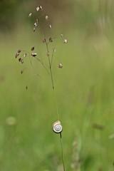 Westliche Heideschnecke (Helicella itala) an Zittergras